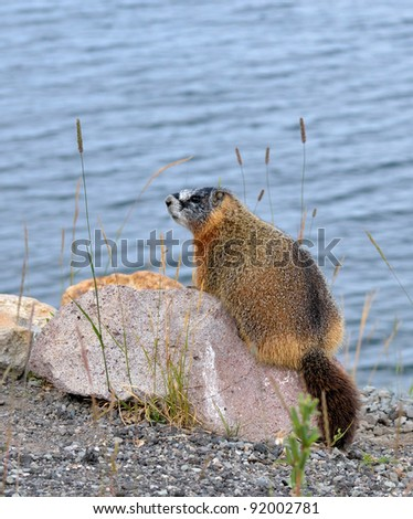 a yellow-bellied marmot sitting on a rock besides a lake