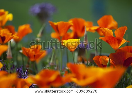 A yellow California poppy flower stands out among orange poppies in summertime.