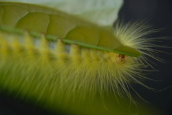 a yellow caterpillar was crawling on a twig. This caterpillar feeds on leaves in preparation for metamorphosis. caterpillar is an insect that will metamorphose into a butterfly. itching on the skin.