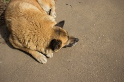 A yellow-colored dog sleeps on the asphalt. Top view. Urban stray animals.