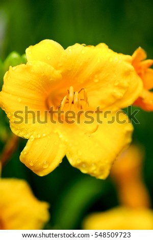 A yellow Day Lily shot with a shallow depth of field with more lilies blurred in the background.