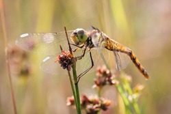 A yellow dragonfly is sitting on a twig in close-up. The dragonfly is hunting. Macro shots of a dragonfly.