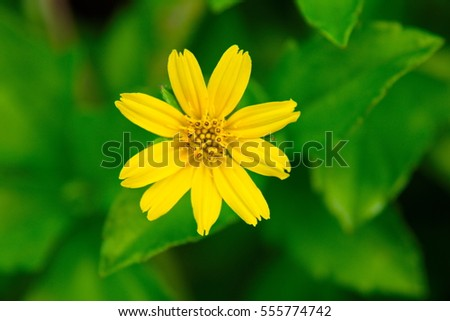 A yellow flower with green leaves as the background called creeping a yellow flower with green leaves as the background called creeping daisy singapore daisy mightylinksfo