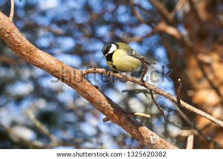 A yellow great tit sitting on a pine tree branch. Location: The Sayma Park, Surgut, Western Siberia.  Stok fotoğraf ©