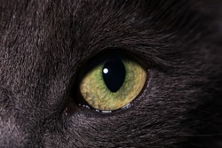 A yellow-green eye of a gray cat.