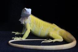 A yellow iguana (Iguana iguana) with an elegant pose.