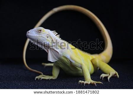 A yellow iguana (Iguana iguana) with an elegant pose. Zdjęcia stock ©