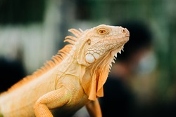 A yellow iguana settles on its place during the reptile exhibition.