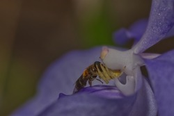 A yellow jumping spider is catching a bee in a orchid flower