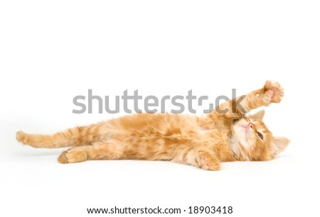 A yellow kitten on its back and playing on a white background - stock photo