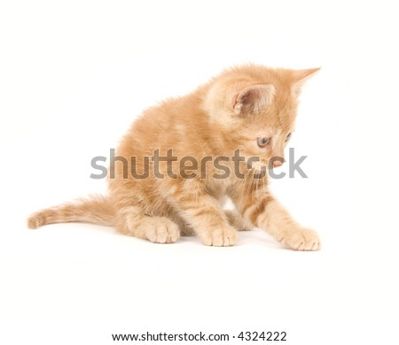 A yellow kitten swings its paws and plays on a white background