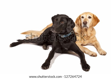 A yellow lab and a black lab in a studio setting.