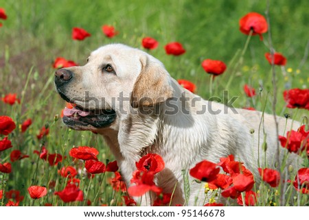 A yellow labrador in the poppy field in Spring (May)