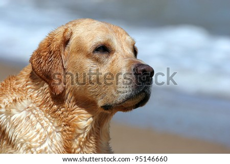 A yellow labrador laying in the beach (Black Sea). Portrait
