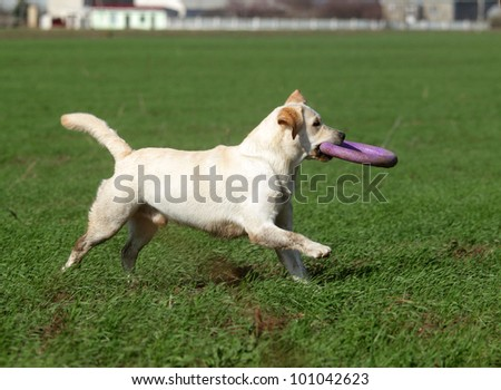 A yellow labrador playing with a toy in the field in summer