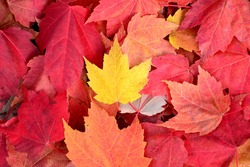 A yellow leaf on top of red leaves