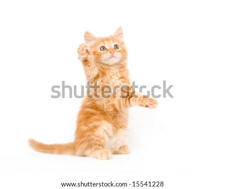 A yellow long-haired kitten swinging its paw while playing on a white background. One in a series.