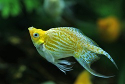 A Yellow longfin and short body swordtail is swimming in aquatic plants tank. Swordtail (Xiphophorus hellerii) is one of the most popular freshwater aquarium fish species. it is a livebearer fish.