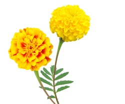 A yellow marigold flowers bunch isolated white