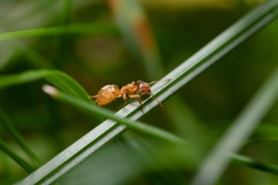 A Yellow Meadow Ant in the Grass - Lasius flavus