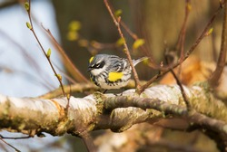 A yellow rumped warbler is perched in a tree in Tawas Point State Park, East Tawas, Michigan.