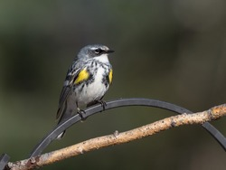A Yellow-rumped Warbler Male Resting