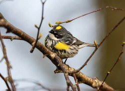 A yellow rumped warbler sits in a tree in Tawas Point State Park, East Tawas, Michigan.