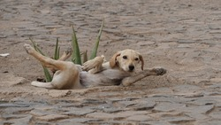 a yellow street dog puppy lying next to an agave Mindelo, on the island Sao Vicente, Cabo Verde