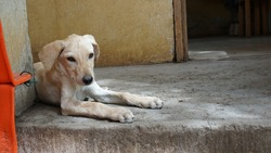 a yellow street dog puppy lying on a floor in Mindelo, on the island Sao Vicente, Cabo Verde