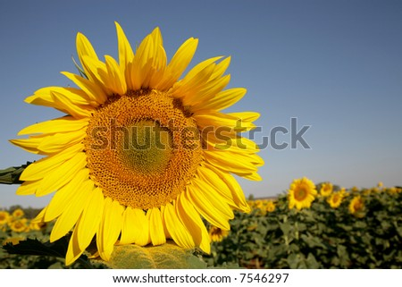 A yellow sunflower in a field