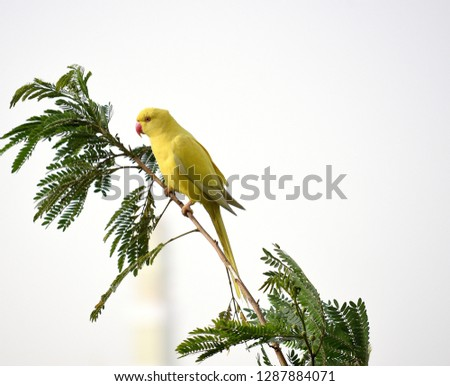 A yellow wild  Parakeet (Psittacara holochlorus) sits on a Arcadia tree looking towards the left. The Isolated look of this image is due to a sand storm. Rare bird coloring for the Avian family.  #1287884071