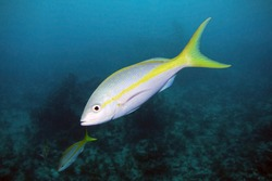 A Yellowtail Snapper swims through the water column over Molasses Reef in Key Largo, Florida.