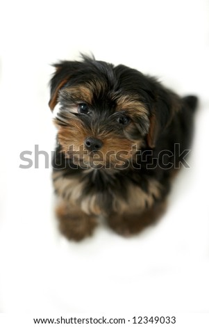 A Yorkie puppy isolated on white