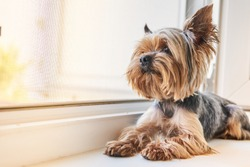 A Yorkshire Terrier dog looks out the window