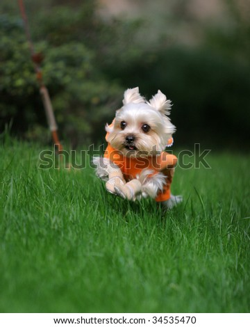 a Yorkshire Terrier girl run to me - stock photo