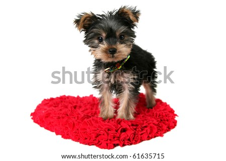 a yorkshire terrier puppy standing on a love heart shaped rug or mat,isolated on white,valentines day theme.