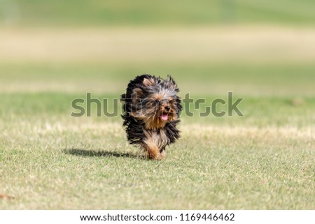 Free Photos Running Yorkie Puppy Avopixcom