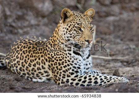 A young adult male leopard lying in the sand of a riverbed