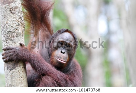 A young adult orangutan watches warily whilst grasping a tree trunk. The background comprises defocused rainforest trees and foliage providing space for copy if required.