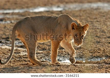 A young African lion, (Panthera leo) at a waterhole, Kalahari, South Africa