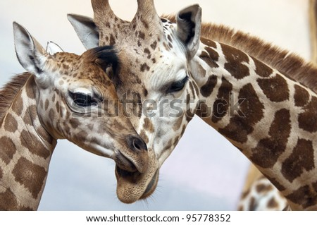 A young and an adult giraffes #95778352
