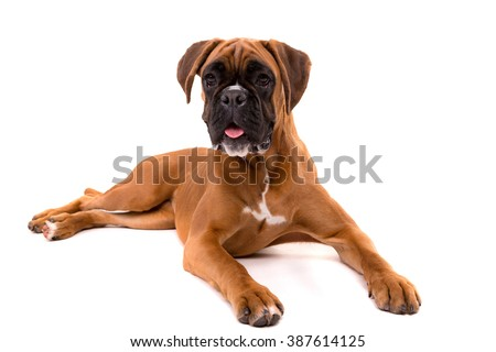 A young and beautiful boxer puppy, isolated over white background #387614125