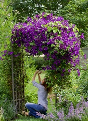 A young auburn female photographer taking cell photos of  spectacular purple clematis, jackmanii, in full bloom in July is the focal point of this impressionistic garden.