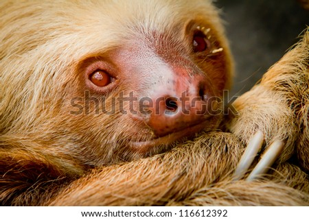 A young awake two-toed sloth, Ecuador South America
