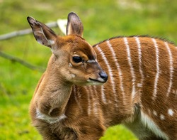 A young baby nyala. Tragelaphus angasii is a spiral-horned antelope native to Southern Africa. It is a species of the family Bovidae and genus Nyala, also considered to be in the genus Tragelaphus.
