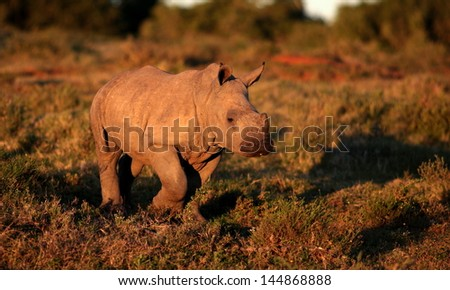 A young baby white rhino calf walks past in beautiful golden sunlight during a safari in south africa