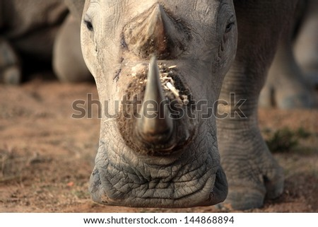 A young baby white rhino / rhinoceros calf walks past in beautiful golden sunlight during a safari in south Africa