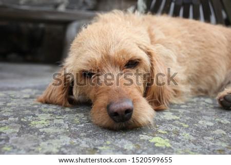A young Basset fauve de Bretagne dog Stock fotó ©