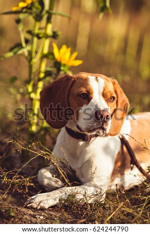A Young Beagle Dog In The Nature #624244790
