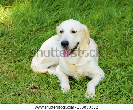 A young beautiful light golden retriever sitting happily on the lawn. Known for their intelligence, being very friendly and excellent guide dogs